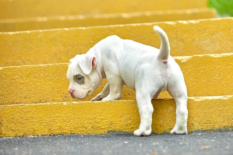 Beautiful and cute puppy American bulli on a concrete background, urban stairs. Concept first experience, first steps in. Life royalty free stock photo