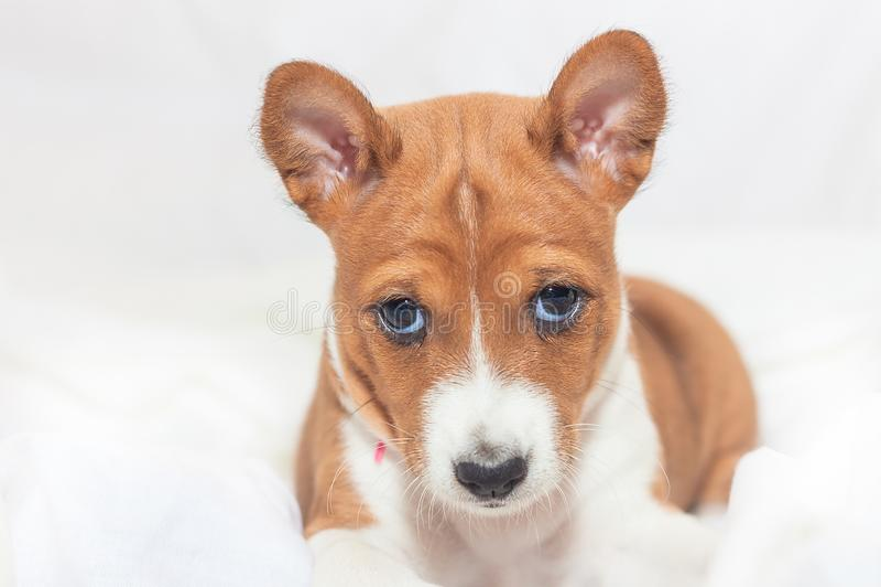 Beautiful, cute puppy dogs not barking dog breed basenji. Beautiful, cute puppy dogs not barking African dog breed basenji stock image