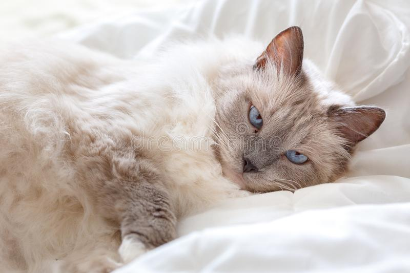 Beautiful cute Ragdoll cat with beautiful light blue eyes, looking directly at the camera royalty free stock photo