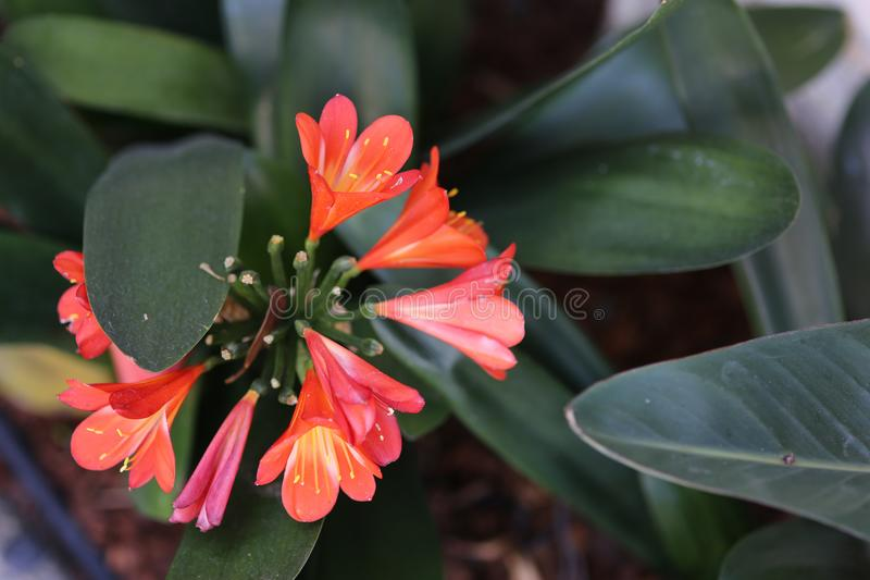 Red flower in California garden, nature royalty free stock image