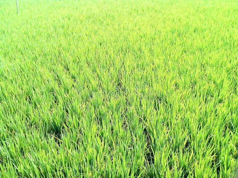 Summer rice field royalty free stock photography