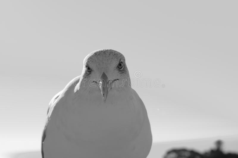 Beautiful cute seagull looking at camera in black and white stock images