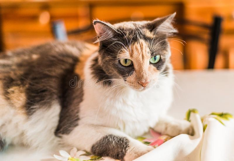 A beautiful and cute tricolor calico cat. Selective focus royalty free stock image
