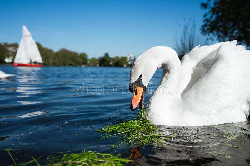 Beautiful cute white grace swan on the Alster lake on a sunny day. White pleasure sail boat in background. Hamburg. Germany royalty free stock photo