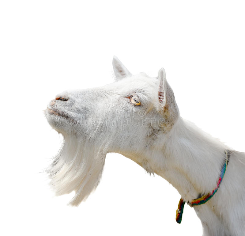 Beautiful, cute, young white goat isolated on white background. Farm animals. Funny goat try to kiss someone. White goat with a beard isolated on white royalty free stock image