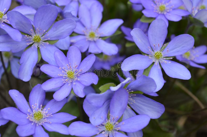 Detail of very nice blue flowers royalty free stock photos