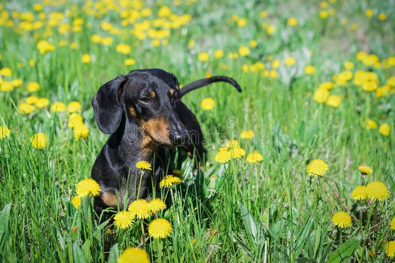 Beautiful dachshund dog, black and tan, walks and plays in a meadow on a field with dandelions on a bright sunny summer day stock images