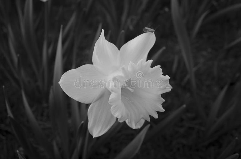 Beautiful daffodil flower in black and white. Nice calm poetic photo in monochrome tone. Lovely soft outdoors light in nature stock images