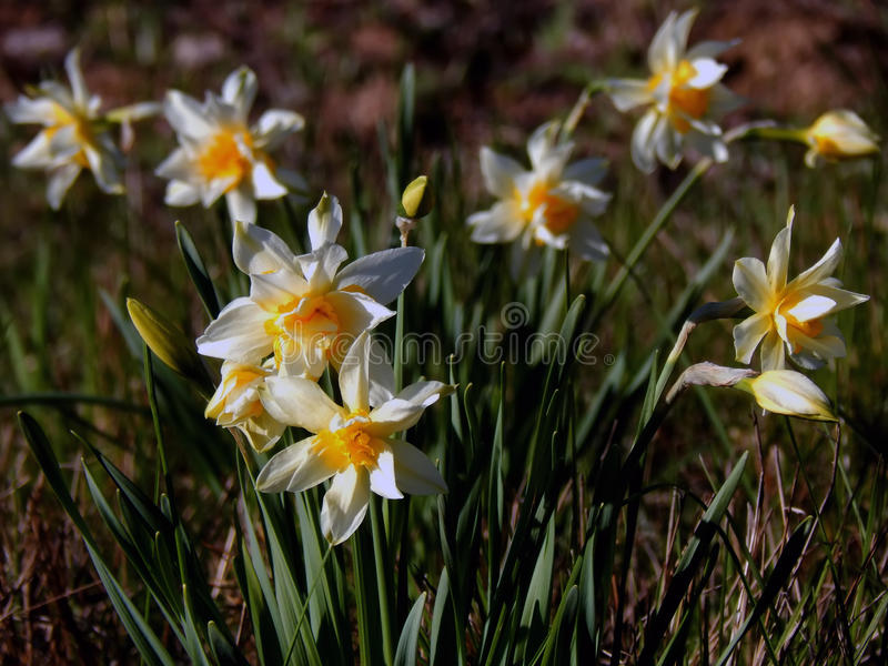 Beautiful daffodils in the spring time. Close up stock images