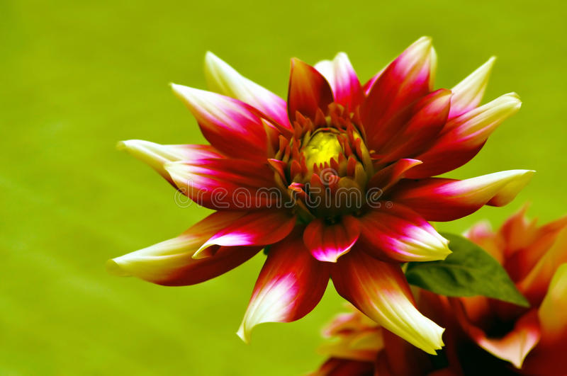 Download Beautiful dahlia stock photo. Image of daisy, petals - 18156834