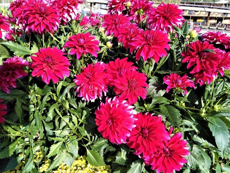 Gorgeous colour of beautiful decorative dahlia flowers royalty free stock image