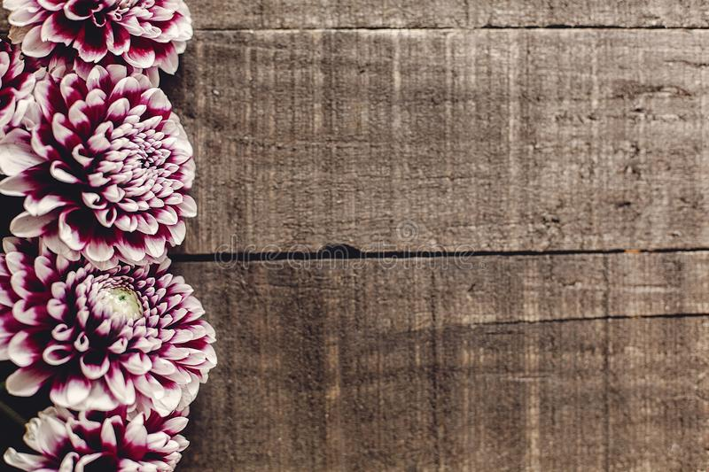 Beautiful dahlias on rustic wooden background flat lay. purple a royalty free stock photography
