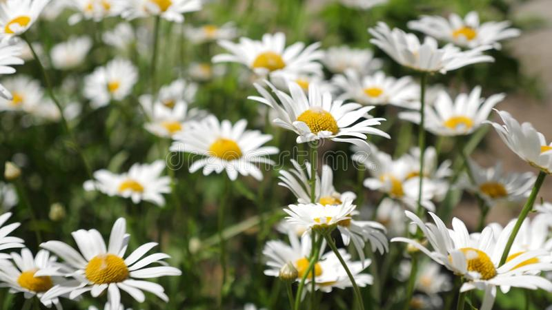 Beautiful daisies bloom in summer on field. Phytotherapy. environmentally friendly medicinal herbs. Flower business royalty free stock photo