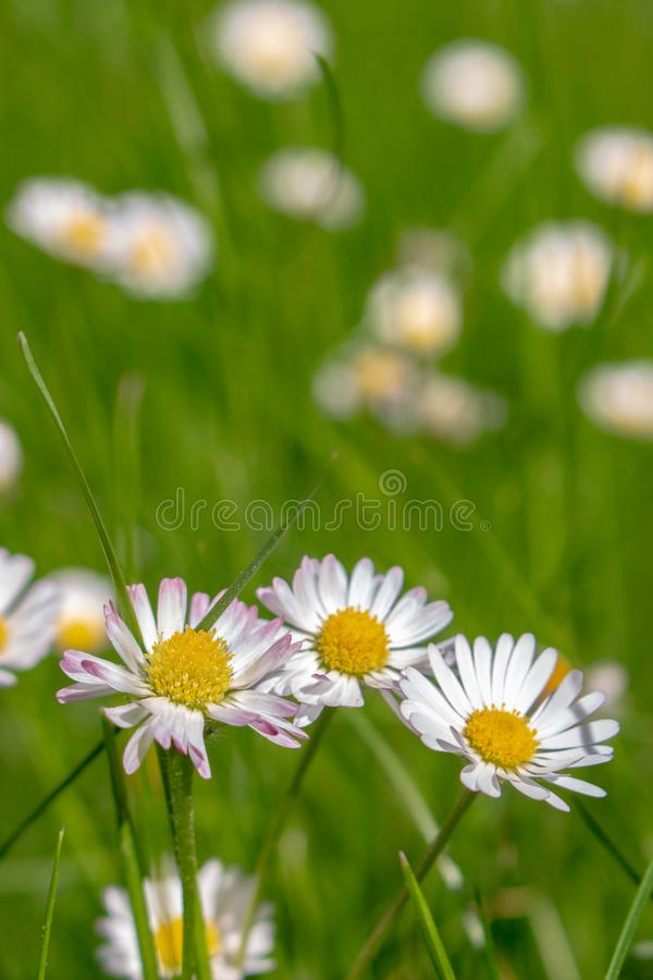 A beautiful daisies on a field royalty free stock images