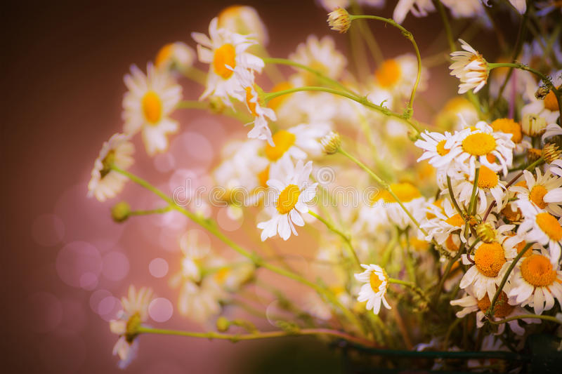 Beautiful daisies flowers on blurred nature background with bokeh , close up royalty free stock photos