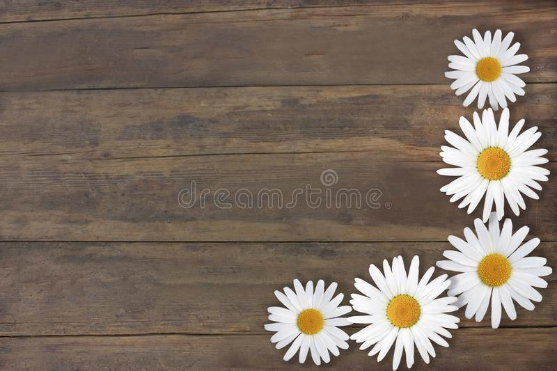 Beautiful daisies. Gorgeous texture old brown wood. Frame of flowers stock photos
