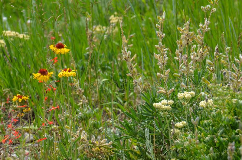 Beautiful daisies and other wildflowers bloom in the summer in a Wyoming meadow stock image