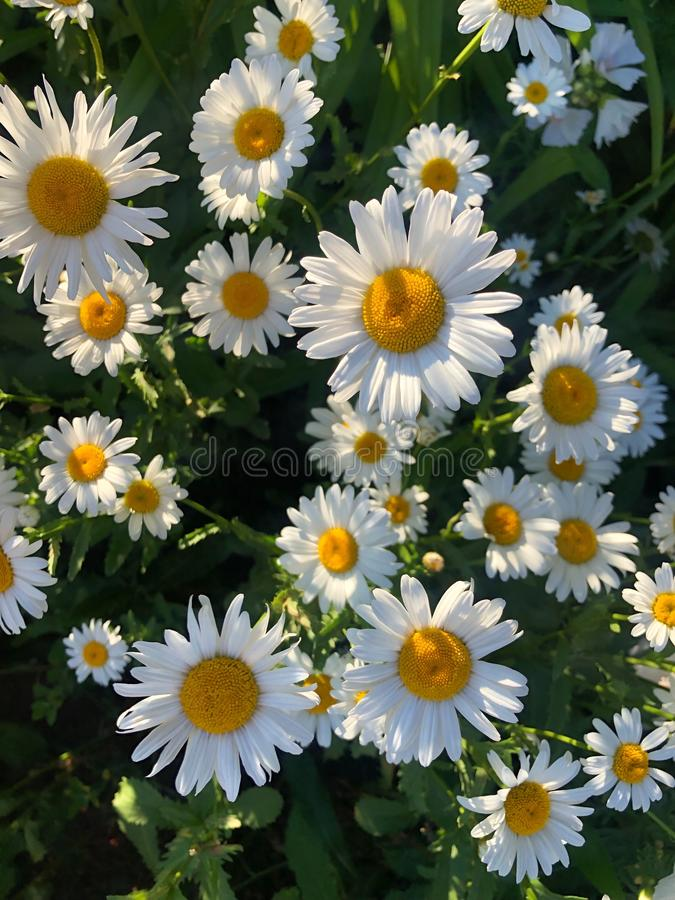 Beautiful daisies in the sun in the Park. View stock photos