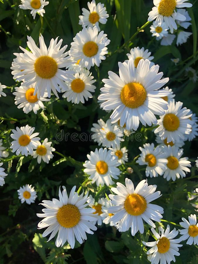 Beautiful daisies in the sun in the Park. View stock photo