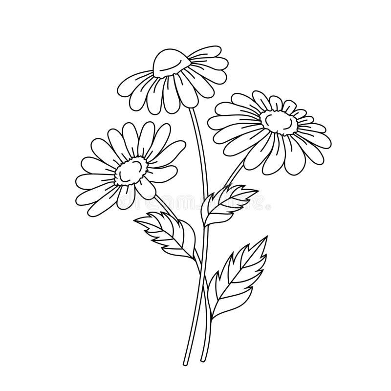 Beautiful daisies on a white background. vector illustration
