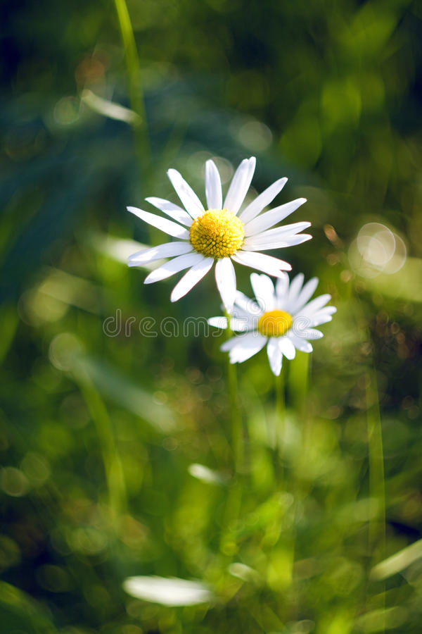 Download Beautiful daisy stock image. Image of green, front, camomile - 24054371