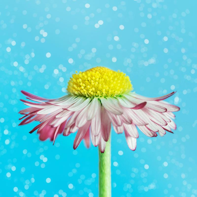 Beautiful Daisy on a bright blue blurred background with bokeh. Flower head with white pink petals and yellow middle. Marguerite royalty free stock images