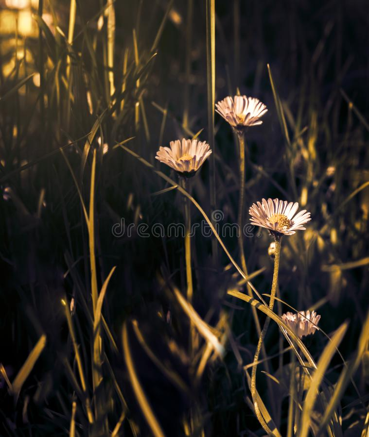 Beautiful daisy flower blossom on wild field in sunset light. Soft focus. Creative dark low key toned. Greeting card template. royalty free stock image