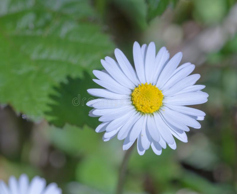 Beautiful daisy flower blossomoing in the morning sun. royalty free stock images