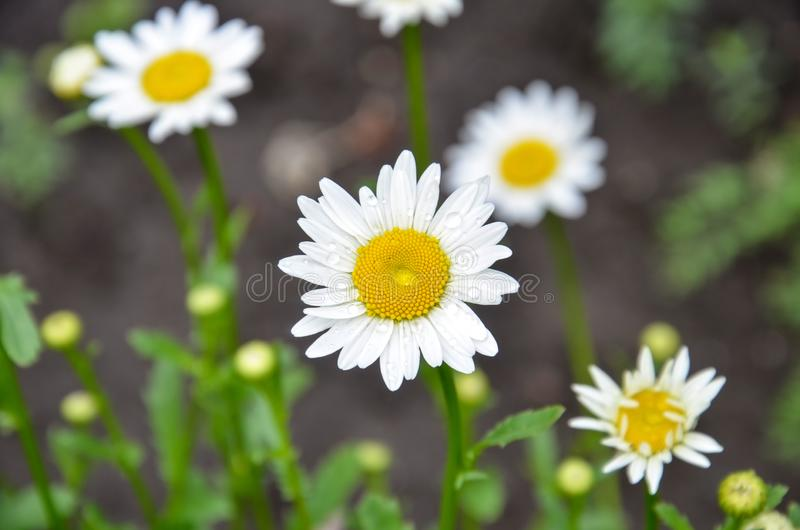 Beautiful daisy flower. Chamomile field flowers border royalty free stock photography