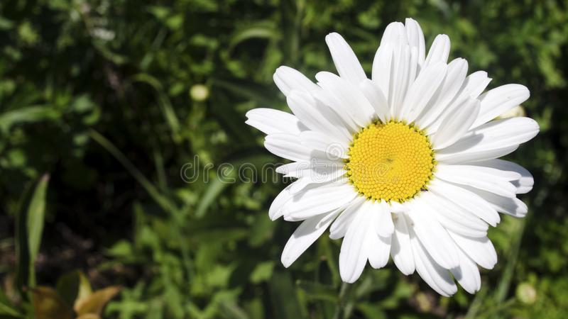 Beautiful daisy flower. Close up. royalty free stock images