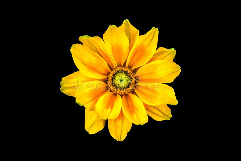 Beautiful daisy flower isolated on black background, clipping path. royalty free stock photography