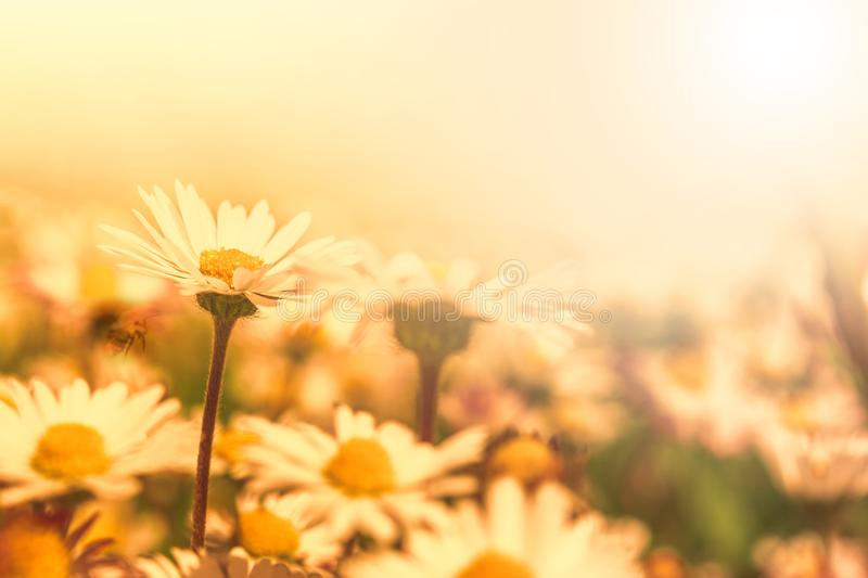 Beautiful daisy flower on wild field in sunset light. Soft focus nature background. Delicate pastel toned image. Greeting card stock photography
