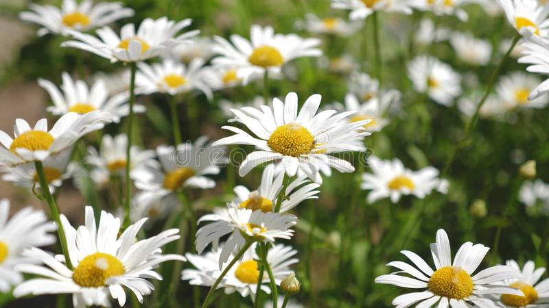 Beautiful daisy flowers in spring on the meadow. white flowers shakes the wind in the summerfield. close-up royalty free stock image