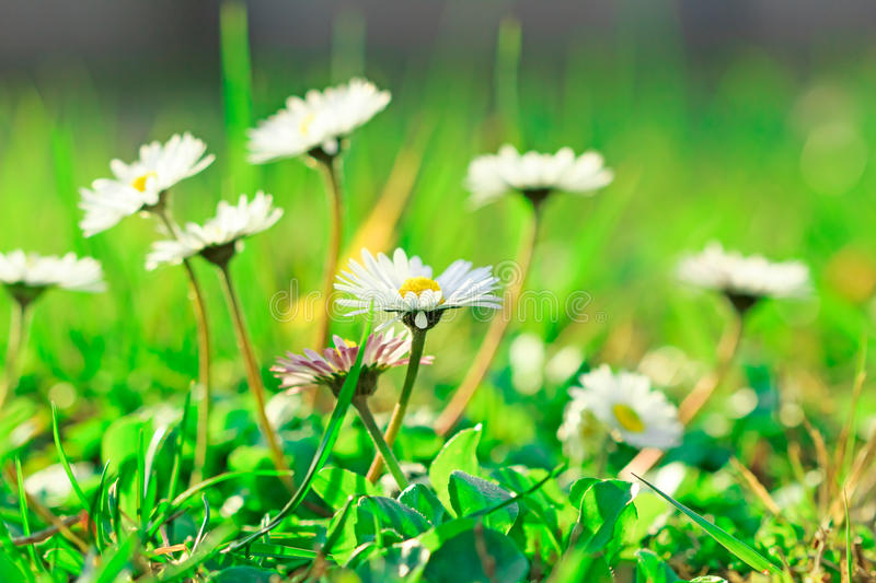 Beautiful Daisy in a meadow stock image