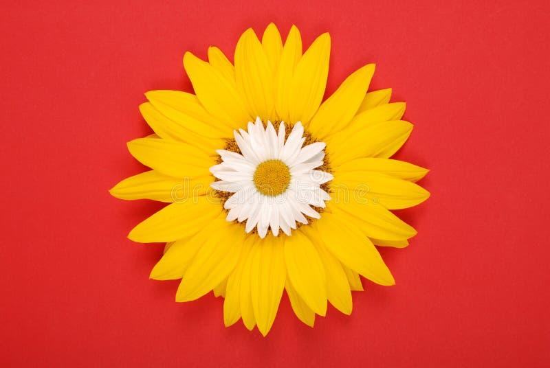 Beautiful daisy on sunflower stock photography