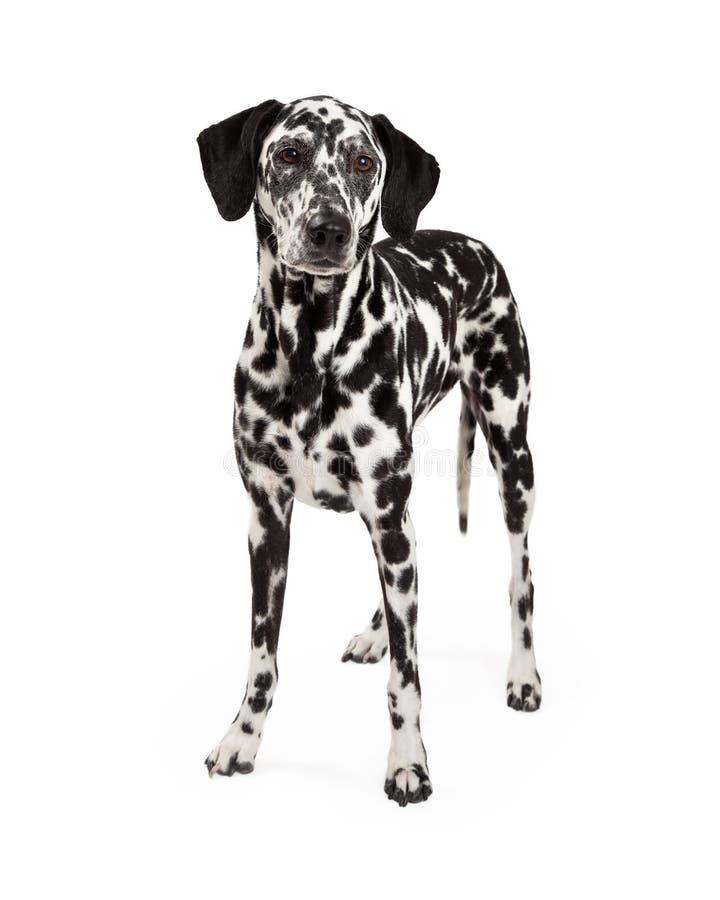 Beautiful Dalmatian Dog Standing stock image
