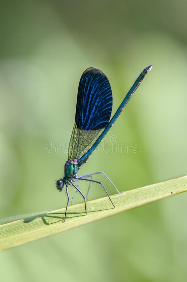 Beautiful damselfly Calopteryx splendens of morning dew. Beautiful damselfly Calopteryx splendens  of morning dew in the summer preparing to meet a new day royalty free stock images
