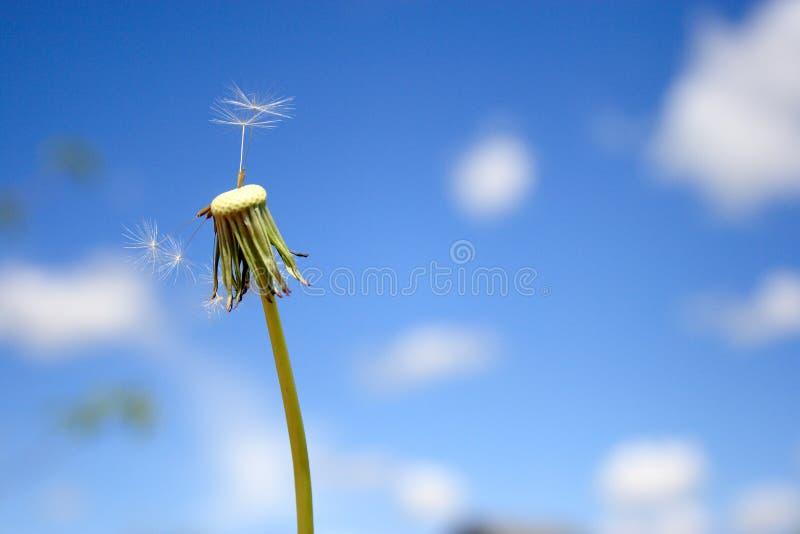 Beautiful dandelion. On blue sky royalty free stock photos