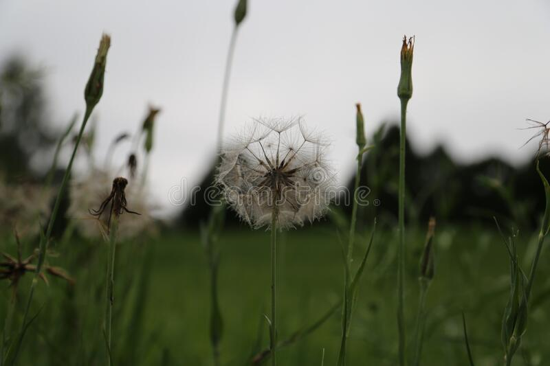 Beautiful dandelion and evening sky royalty free stock photo