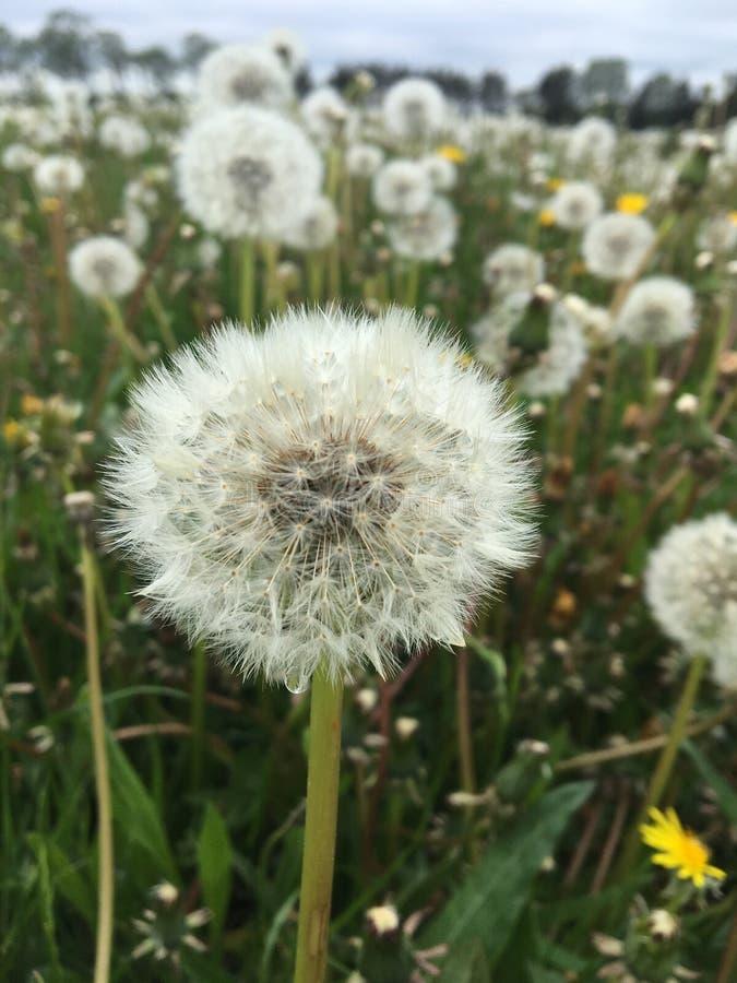 Beautiful Dandelion field in Denmark stock photo