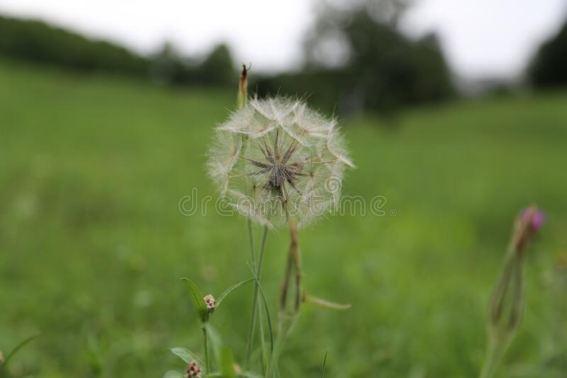 Beautiful dandelion in the field royalty free stock images