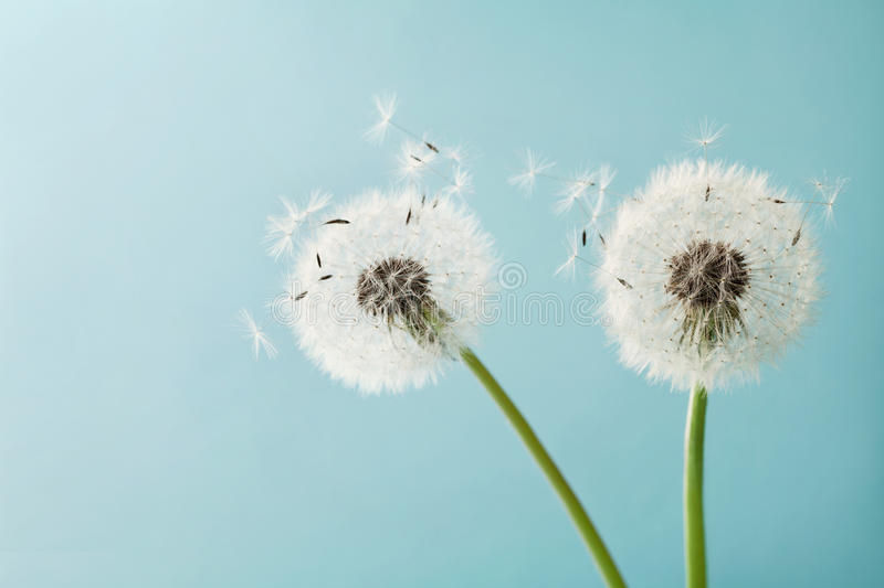 Beautiful dandelion flowers with flying feathers on turquoise background, vintage card. Macro stock image