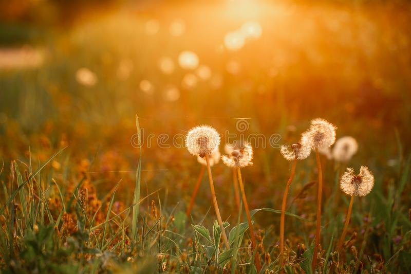 Beautiful dandelion flowers in spring in a field close-up in the golden rays of the sun. Fluffy dandelions glow in the rays of royalty free stock image