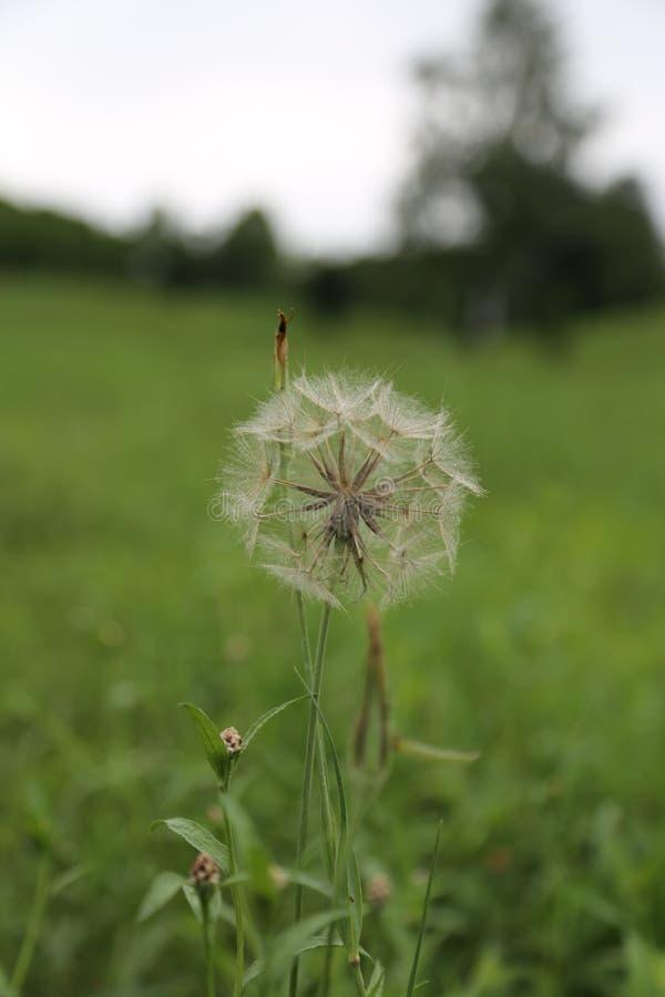 Beautiful dandelion royalty free stock photos