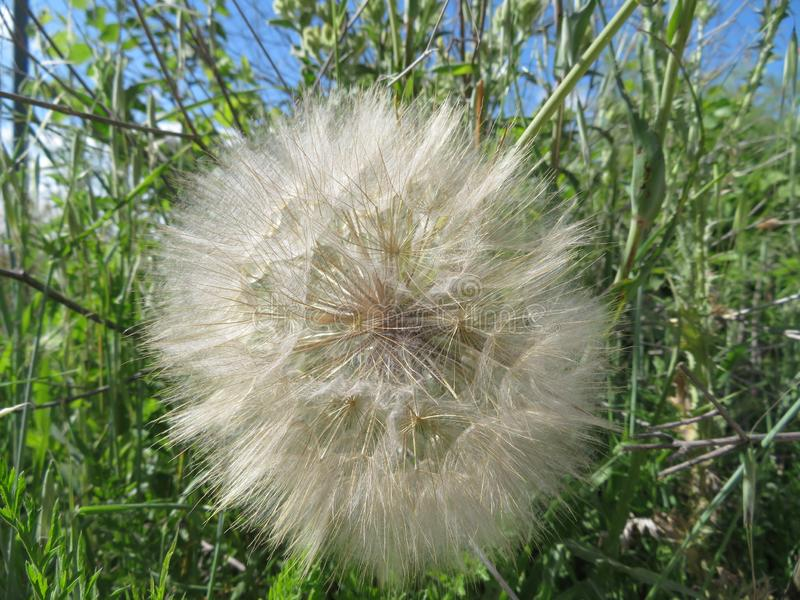 Beautiful dandelion large size waiting for the air to travel stock image