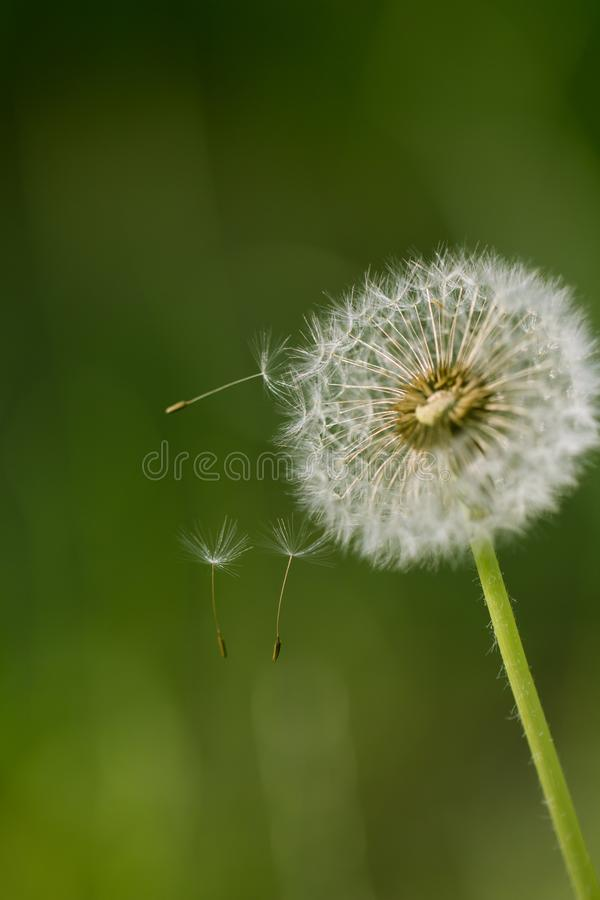 Beautiful dandelion on nature. In the park in nature stock photography