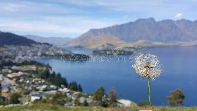 A beautiful dandelion planted on a hill overlooking Queenstown of New Zealand royalty free stock photo