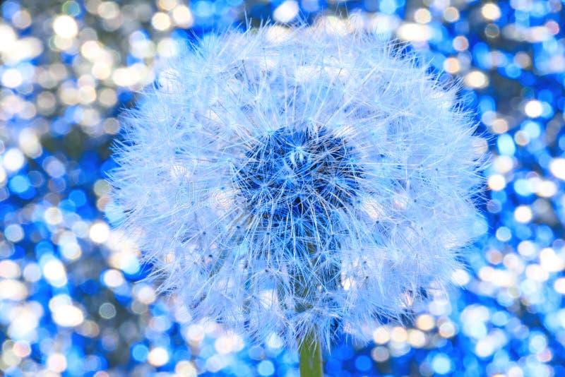 Beautiful white dandelion with seeds on bokeh blue background. Close-u royalty free stock image
