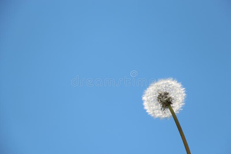 Beautiful dandelion on sky background. Summer stock image