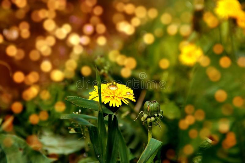 Beautiful dandelion in the sunset stock image